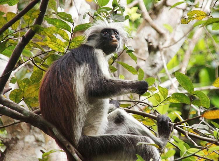 gereza małpka małpa Zanzibar ciekawostki o Zanzibarze atrakcje