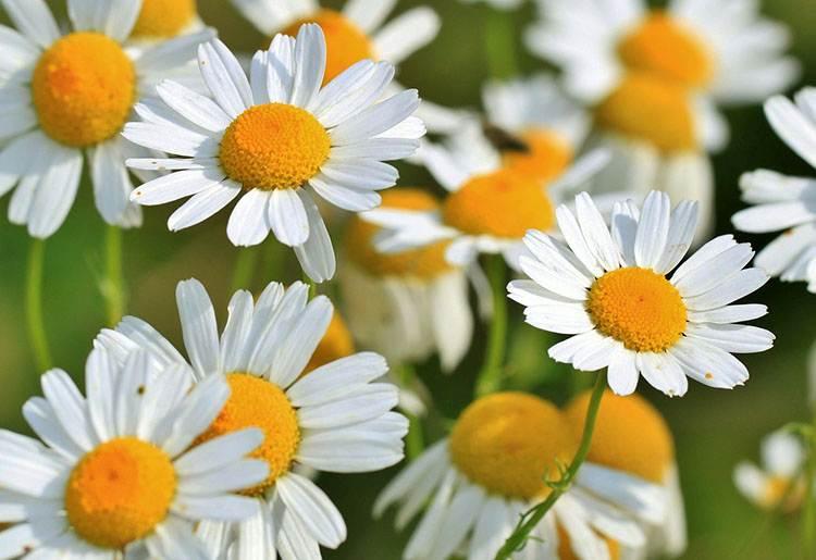 rumianek kwiat zioło ciekawostki zdrowie