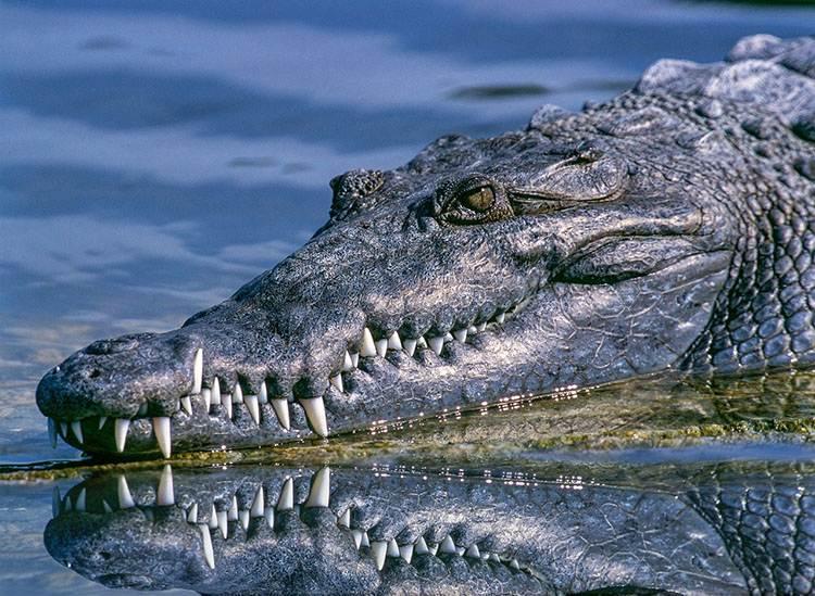 aligator zęby zwierząt ciekawostki zwierzęta