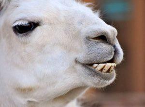 lama zęby zwierząt ciekawostki zwierzęta humor