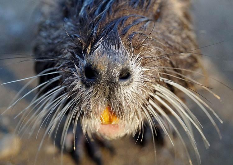 nutria zęby zwierząt ciekawostki zwierzęta