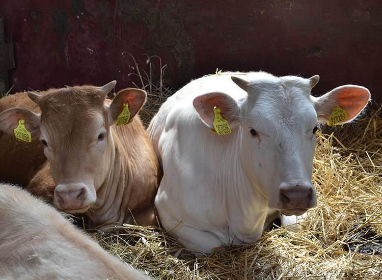 dowcipy o zwierzętach na wsi kawały zwierzęta gospodarskie