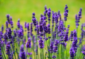 lawenda ciekawostki o lawendzie kwiaty