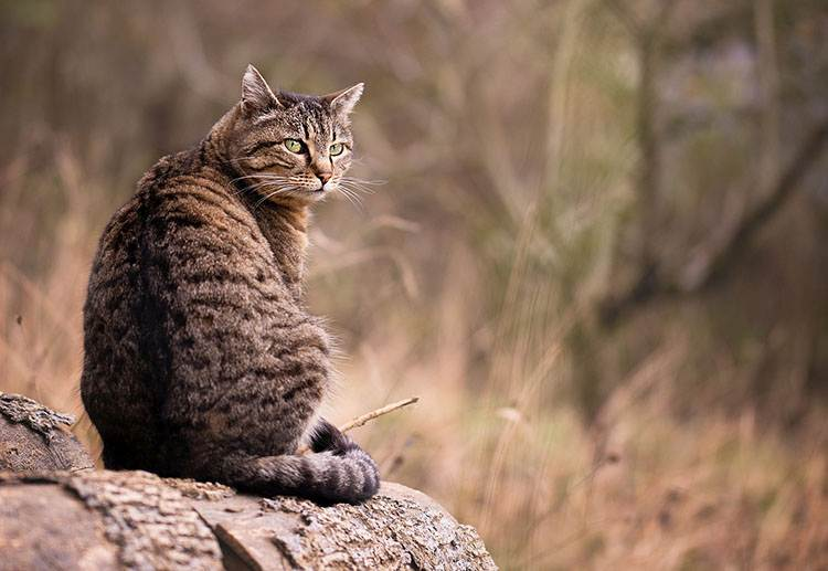 kot samotnik dachowiec ciekawostki koty charakter kota