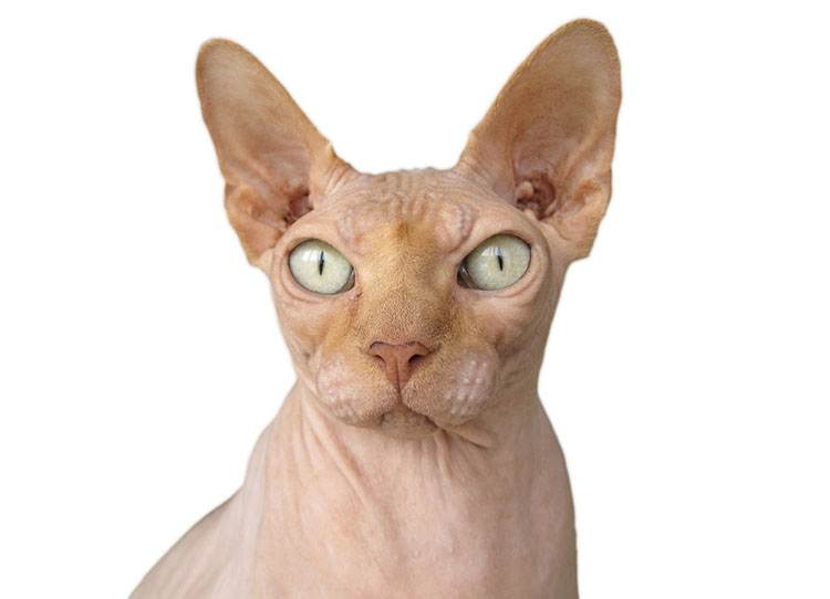 sphinx sfinks popularne rasy kotów kot ciekawostki koty