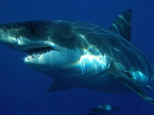 rekin biały ciekawostki rekiny