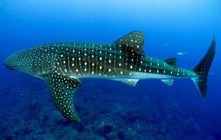 rekin wielorybi ciekawostki rekiny