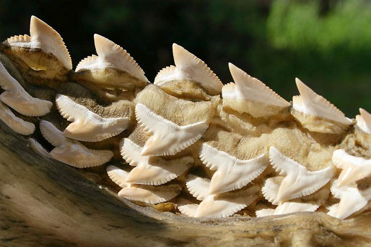 zęby rekina dolna szczęka rekin ciekawostki rekiny