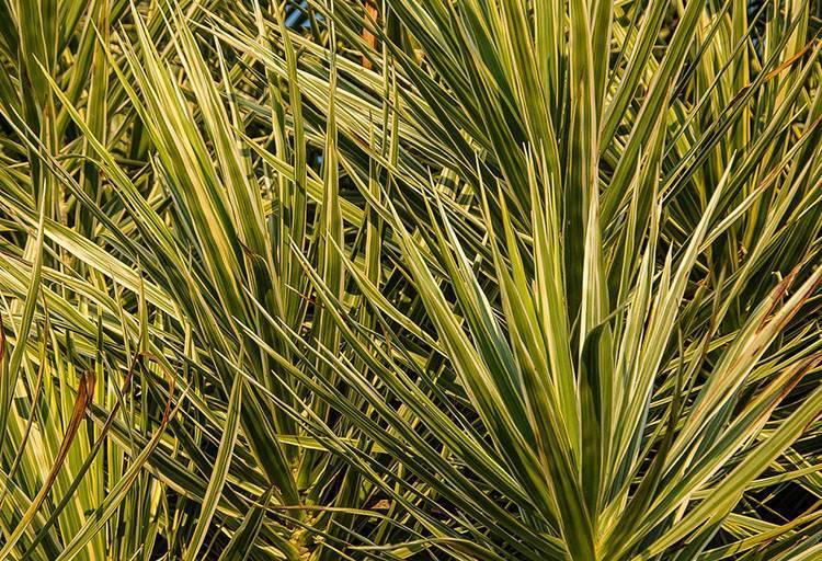 dracena rośliny oczyszczające powietrze
