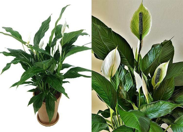 skrzydłokwiat rośliny oczyszczające powietrze