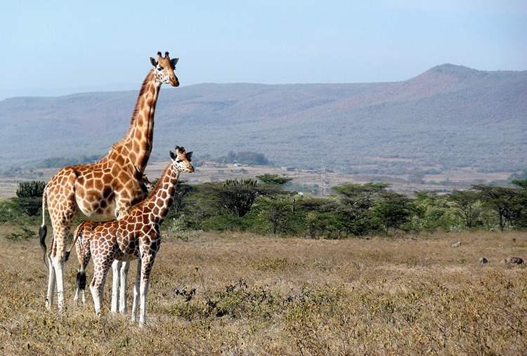 Kenia ciekawostki Afryka żyrafy przyroda