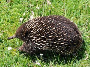 kolczatka australijska ciekawostki