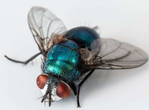mucha ciekawostki o muchach jak kopulują muchy