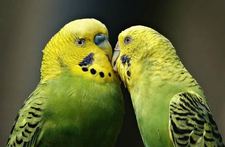 papużki faliste papuga ciekawostki o papugach papugi