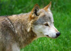 pies dingo australijski ciekawostki psy Australia