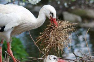 gniazdo bociana bocian ciekawostki o bocianach bociany przysłowia ludowe polskie powiedzenia powiedzonka
