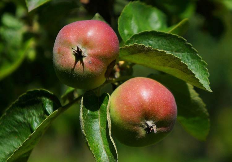jabłka ciekawostki o jabłkach jabłko jabłoń