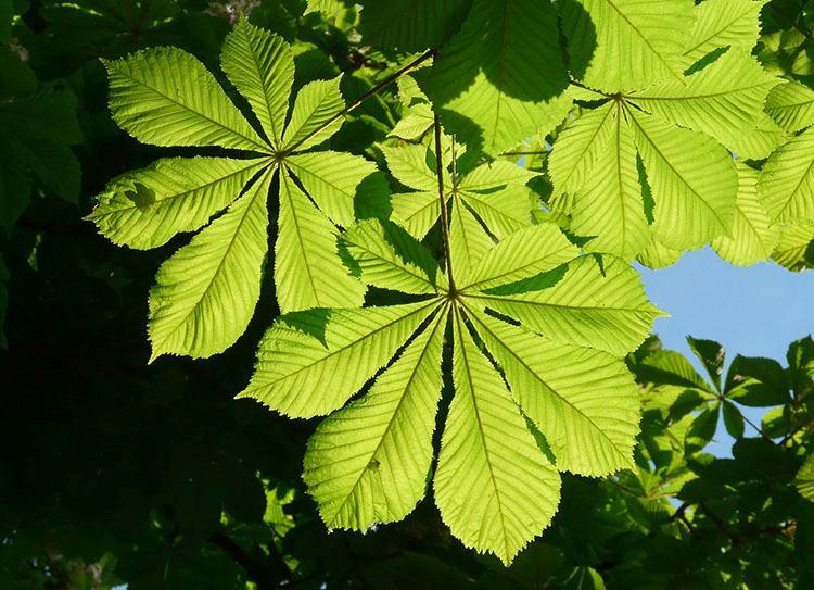 kasztan liście ciekawostki o kasztanach kasztany informacje
