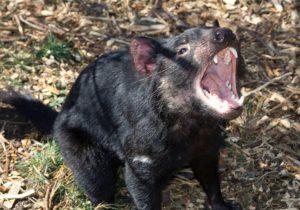 zwierzę diabeł tasmański ciekawostki Tasmania