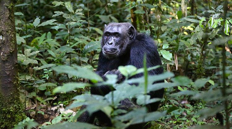 szympans Uganda ciekawostki atrakcje Afryka