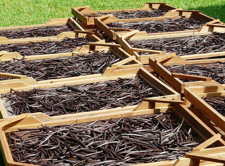 Mauritius suszenie wanilia roślina przyprawa ciekawostki o wanilii