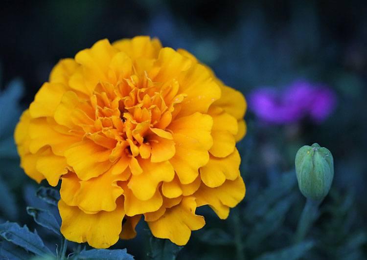 aksamitka kwiat aksamitki ciekawostki kwiaty