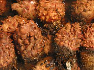 ananas morski ciekawostki owoce morza sea pineapple