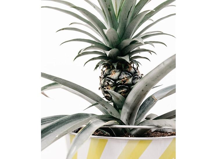 ananas w doniczce doniczkowy