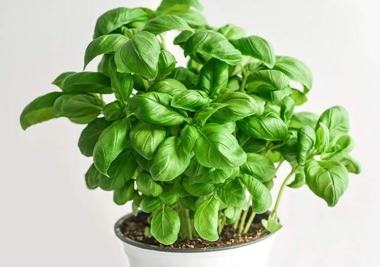 bazylia szczęście hormony szczęścia rośliny