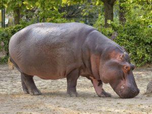 hipopotam ciekawostki hipopotamy o hipopotamach