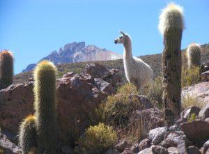 lama kaktusy kamienie góra Boliwia ciekawostki atrakcje Ameryka Południowa