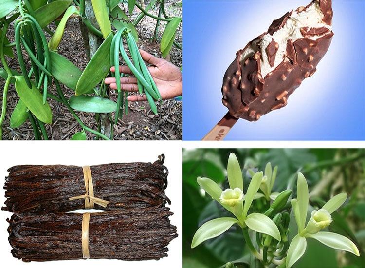 wanilia roślina przyprawa ciekawostki o wanilii