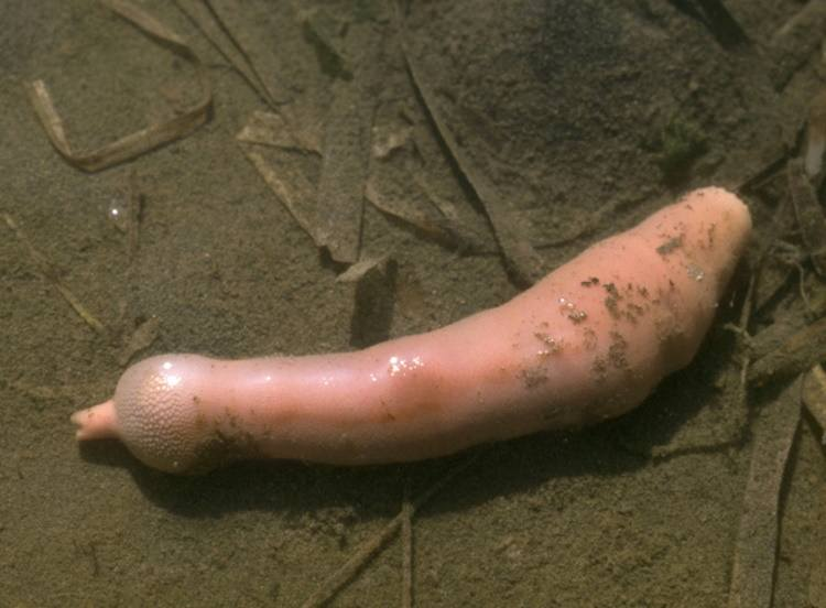 ryba penis urechis caupo ciekawostki