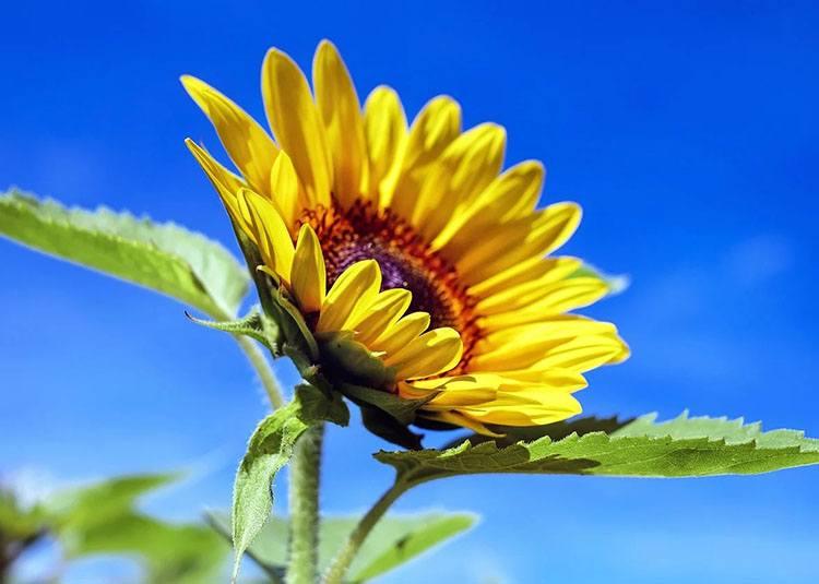 słonecznik ciekawostki słoneczniki