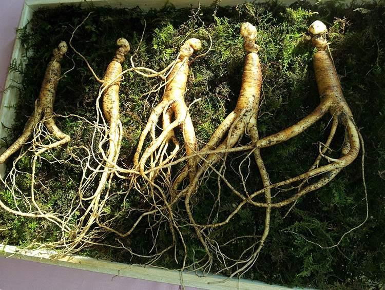 żeń-szeń korzeń szczęście hormony szczęścia rośliny