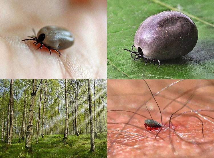 kleszcz ciekawostki borelioza kleszcze choroby