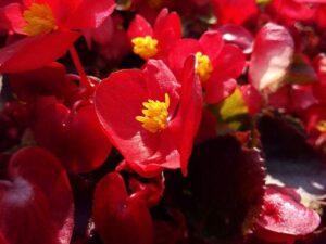 kwiat begonia ciekawostki begonie kwiaty