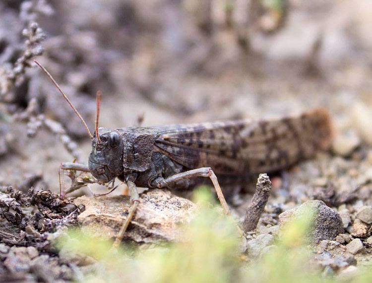 szarańcza ciekawostki owady