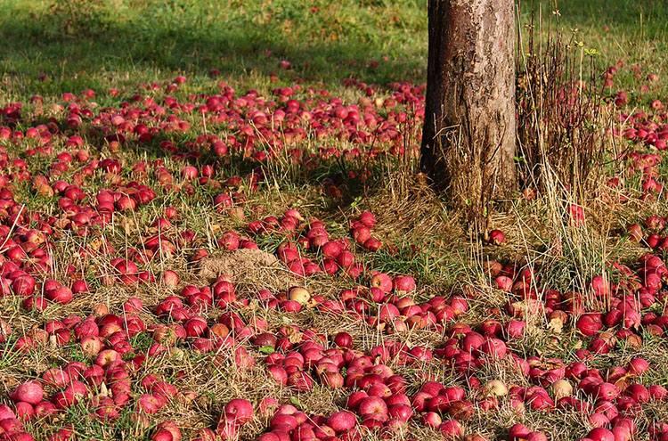 jabłka sad sadownictwo ciekawostki sady plantacje