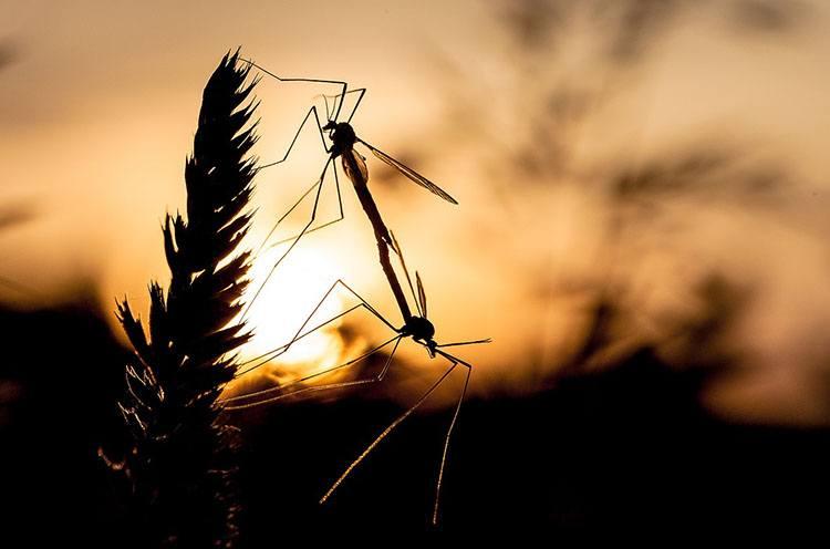 komar ciekawostki komary o komarach
