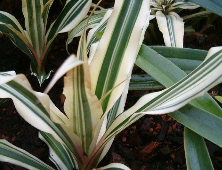 cryptanthus bromelioides skrytokwiaty ciekawostki skrytokwiat kwiaty