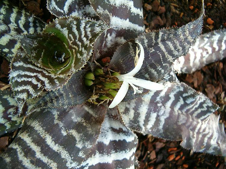 cryptanthus zonatus skrytokwiaty ciekawostki skrytokwiat kwiaty