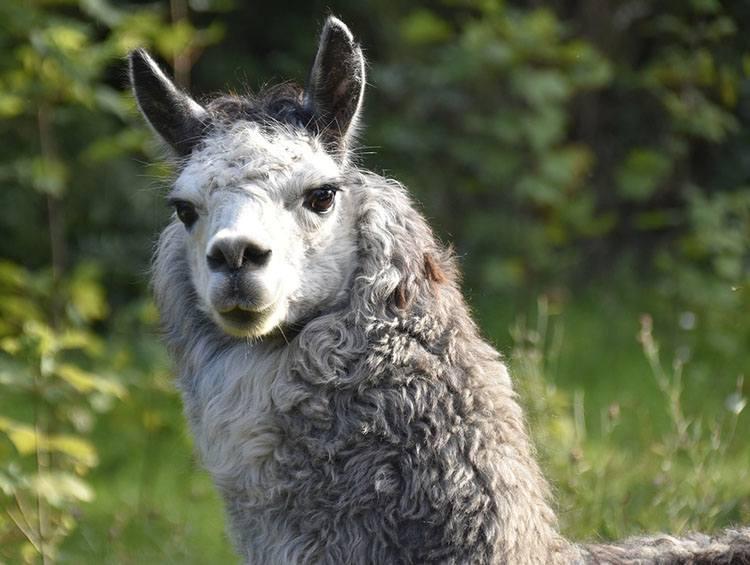 alpaka ciekawostki alpaki zwierzę
