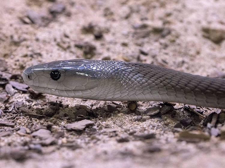 wąż czarna mamba ciekawostki informacje węże