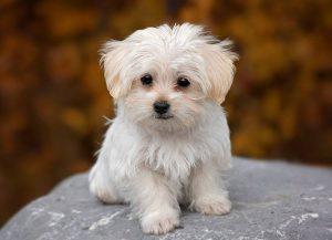 pies maltańczyk ciekawostki maltańczyki opis maltańczyka charakterystyka tresura pięlęgnacja