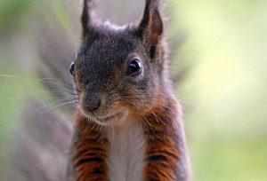 wiewiórka ciekawostki wiewiórki zwierzęta o wiewiórkach