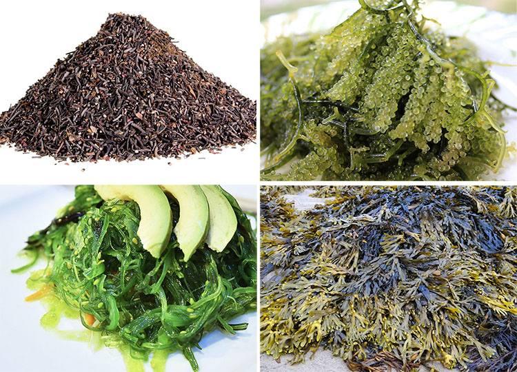algi morskie ciekawostki wodorosty