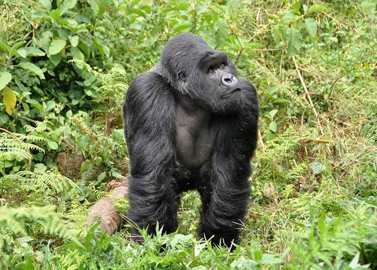goryl Rwanda ciekawostki Afryka państwo informacje