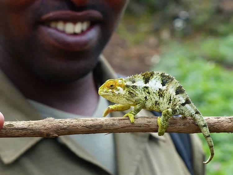 kameleon Rwanda ciekawostki Afryka państwo informacje
