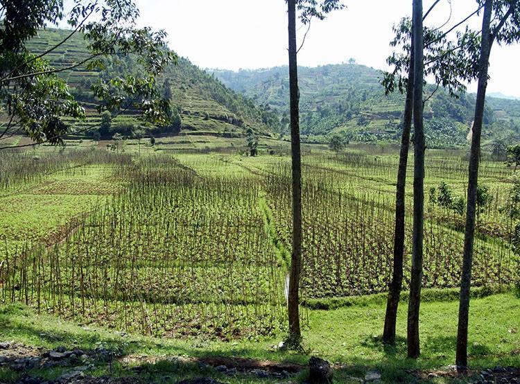 ryż Rwanda ciekawostki Afryka państwo informacje